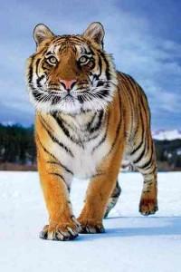 ER6878- Tiger -snow