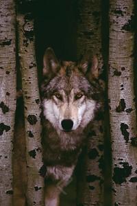 Gray wolf - Montana December 7, 2001