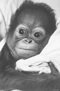 ER6892-SNUGGLE-Chimp