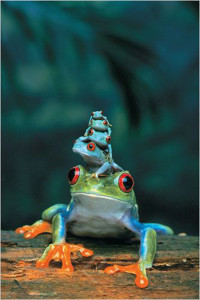2400-3004 Red-Eyed Tree Frog