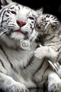 ER4689  WHITE TIGER WITH CUB