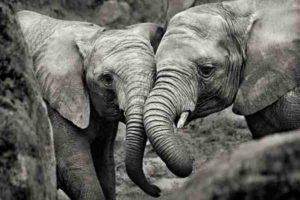 ER7022 ELEPHANTS MOTHER CALF
