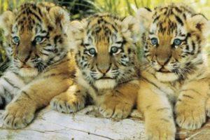 ER5781  TIGER CUBS