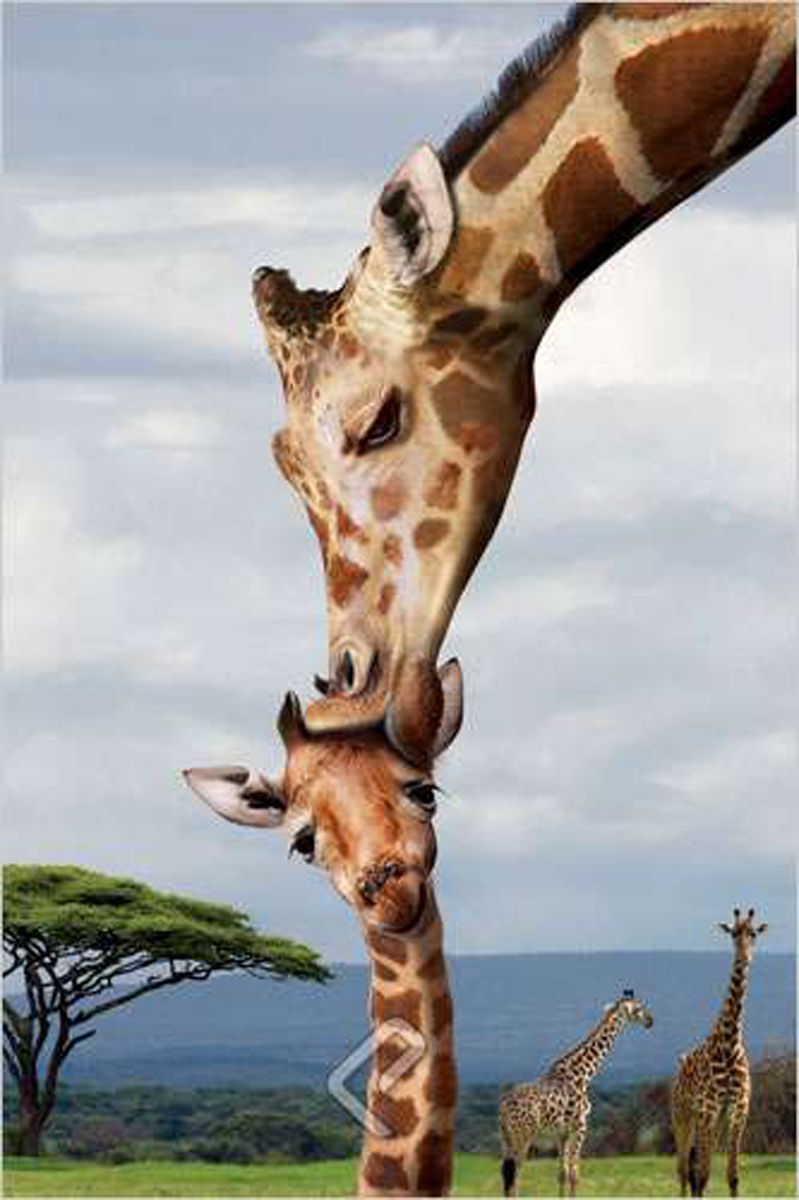 Giraffe Kissing Baby - Athena Posters