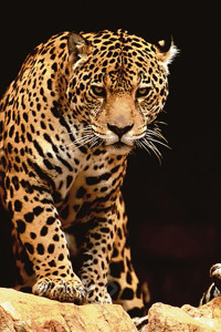 2400-1163 Leopard