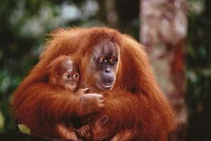2400-1219 Orangutan Mother and Baby
