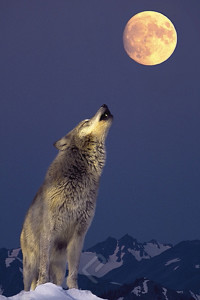 2400-1339 Gray Wolf Howling at the Moon