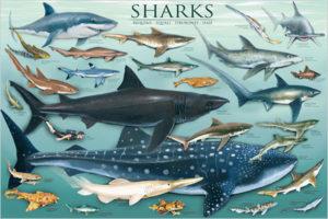 2450-0079 Sharks