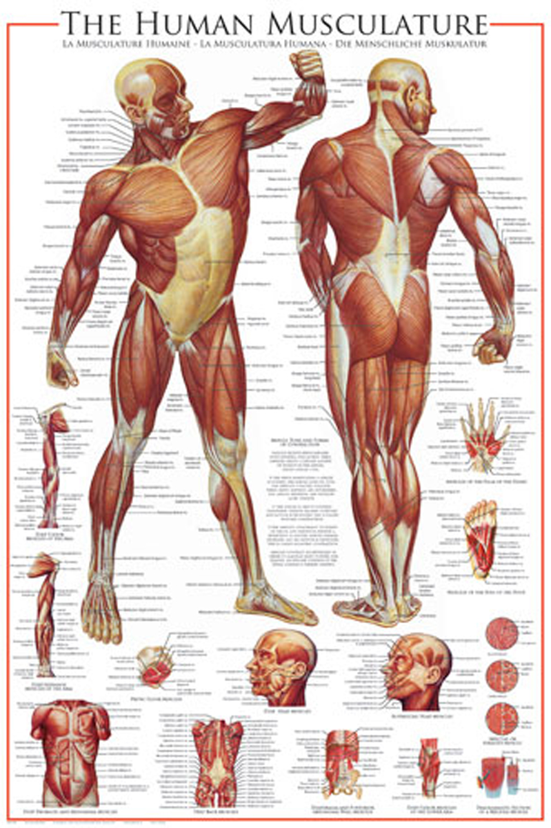 The Muscular System Athena Posters
