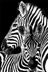 ER6147 Zebra pair
