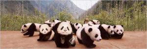 2390-0309-Panda Cubs-36x12