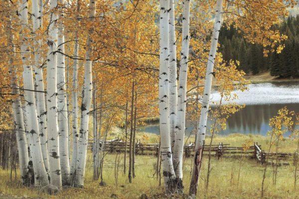 50029 Birch Beauty 18×12