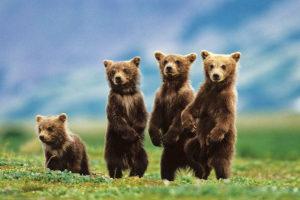 2400-0531-Bear Cubs Standing-36x24