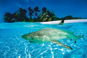 2400-0576-Black Tip Shark-36x24