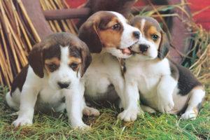 2400-4054-Puppies-36x24