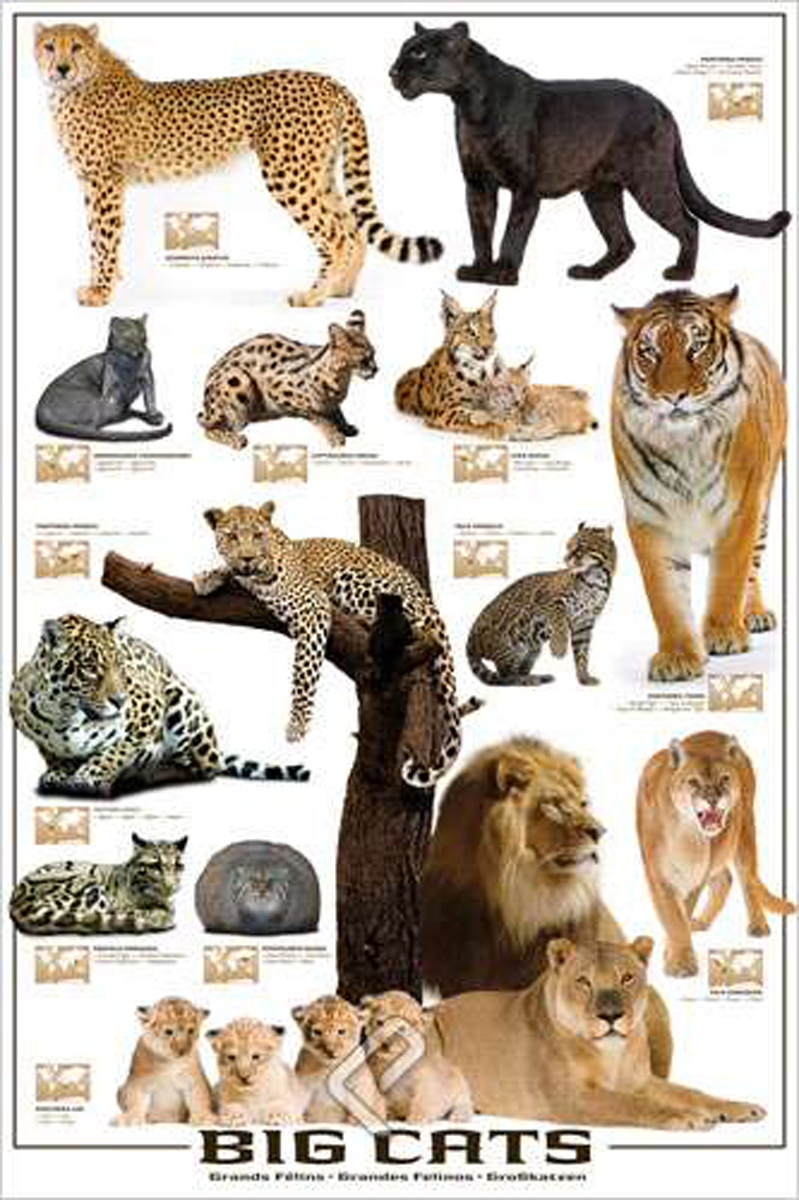 Big Cats Names And Pictures