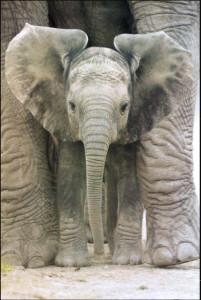 ER3431 Elephant Big Ears