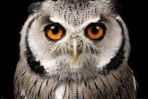 ER7489 ASSAF FRANK OWL-Face
