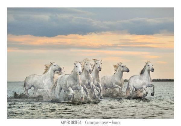 OXP104-Carmargue Horses – France