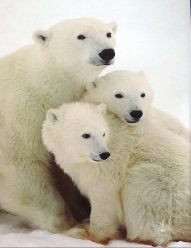 Polar Bears with Cubs