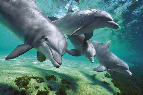 Dolphins-Four