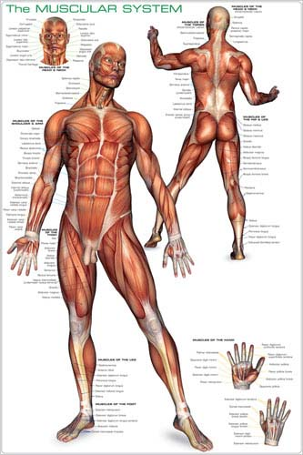 how to keep the muscular system healthy
